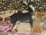 Собаки, щенята Російський гладкошерстий тойтерьер, ціна 2000 Грн., Фото