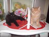 Кошки, котята Курильский бобтейл, цена 5000 Грн., Фото