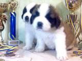 Собаки, щенята Сенбернар, ціна 8000 Грн., Фото