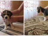 Собаки, щенята Бігль, ціна 10700 Грн., Фото