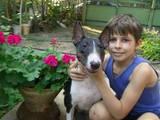 Собаки, щенята Бультер'єр, Фото