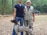 Собаки, щенки Немецкая гладкошерстная легавая, цена 4200 Грн., Фото