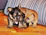 Собаки, щенки Норвичтерьер, цена 18000 Грн., Фото