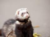 Тварини Фреткі, тхори, ціна 400 Грн., Фото