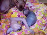 Кошки, котята Канадский сфинкс, цена 3500 Грн., Фото