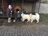 Собаки, щенята Самоїдом, ціна 4200 Грн., Фото
