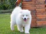 Собаки, щенята Самоїдом, ціна 13000 Грн., Фото