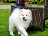 Собаки, щенки Самоед, цена 13000 Грн., Фото