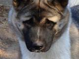 Собаки, щенки Американский акита, цена 20000 Грн., Фото