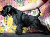 Собаки, щенята Цвергшнауцер, ціна 5500 Грн., Фото