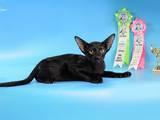 Кішки, кошенята Орієнтальна, ціна 1500 Грн., Фото
