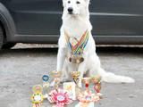 Собаки, щенята Біла Швейцарська вівчарка, ціна 14000 Грн., Фото