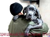 Собаки, щенки Мастино неаполетано, цена 12500 Грн., Фото