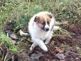 Собаки, щенки Московская сторожевая, цена 150 Грн., Фото