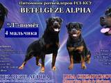 Собаки, щенки Ротвейлер, цена 8000 Грн., Фото