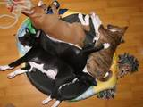 Собаки, щенята Басенджі, ціна 10000 Грн., Фото