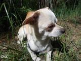 Собаки, щенята Чихуа-хуа, ціна 250 Грн., Фото