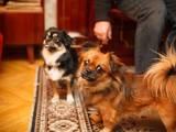 Собаки, щенята Тибетський спанієль, ціна 100 Грн., Фото