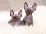 Кішки, кошенята Канадський сфінкс, ціна 4500 Грн., Фото