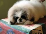 Собаки, щенята Пекінес, ціна 10000 Грн., Фото