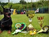 Собаки, щенята Доберман, ціна 9000 Грн., Фото