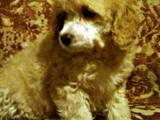 Собаки, щенята Карликовий пудель, ціна 1800 Грн., Фото