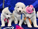 Собаки, щенята Самоїдом, ціна 5000 Грн., Фото