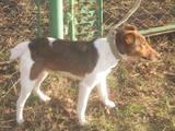Собаки, щенки Гладкошерстный фокстерьер, Фото