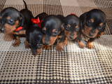 Собаки, щенки Гладкошерстная такса, цена 800 Грн., Фото