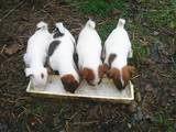Собаки, щенята Гладкошерста фокстер'єр, ціна 650 Грн., Фото
