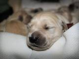 Собаки, щенки Золотистый ретривер, цена 5500 Грн., Фото