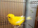 Попугаи и птицы Канарейки, цена 550 Грн., Фото