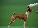 Собаки, щенята Басенджі, ціна 14000 Грн., Фото