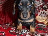 Собаки, щенята Гладкошерста такса, ціна 1200 Грн., Фото