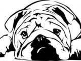 Собаки, щенки Английский бульдог, Фото