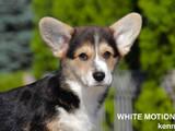 Собаки, щенки Вельш корги пемброк, цена 14000 Грн., Фото