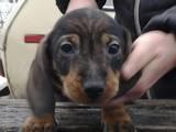 Собаки, щенки Жесткошерстная такса, цена 1500 Грн., Фото