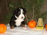Собаки, щенята Гірський собака Берна, ціна 13000 Грн., Фото