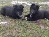 Собаки, щенята Східно-сибірська лайка, ціна 3000 Грн., Фото