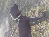 Собаки, щенки Дирхаунд, цена 13000 Грн., Фото