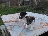 Собаки, щенки Гладкошерстный фокстерьер, цена 2700 Грн., Фото