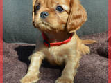 Собаки, щенята Кавалер-кинг-чарльз спаніель, ціна 24000 Грн., Фото