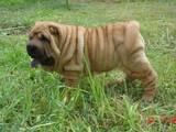 Собаки, щенята Шарпей, ціна 4000 Грн., Фото