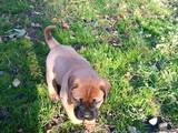 Собаки, щенки Бульмастиф, цена 9000 Грн., Фото