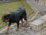 Собаки, щенки Ротвейлер, цена 2100 Грн., Фото