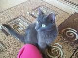 Кошки, котята Русская голубая, цена 1 Грн., Фото
