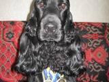 Собаки, щенки Английский коккер, цена 7500 Грн., Фото