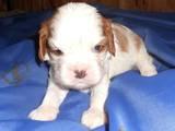 Собаки, щенята Кавалер-кинг-чарльз спаніель, ціна 25000 Грн., Фото