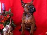 Собаки, щенята Родезійського ріджбек, ціна 33000 Грн., Фото