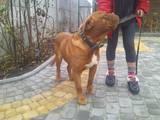 Собаки, щенки Бордосский дог, цена 3000 Грн., Фото